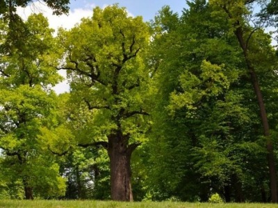 TOP 10 TREE OPTIONS AND THEIR FEATURES THAT WE CAN CHOOSE FOR OUR OUTDOOR FURNİTURE